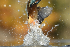 perfect-kingfisher-dive-photo-wildlife-photography-alan-mcfayden-22